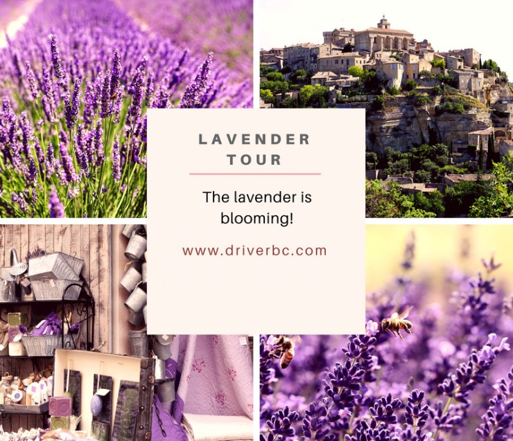 The lavender is blooming !