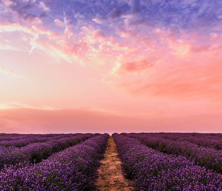 Sunrise in the lavender field